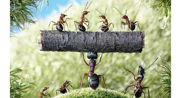 Chuyện kiến và sư tử: ai đã và sẽ là ông chủ nhất định phải đọc bài học quản trị này.