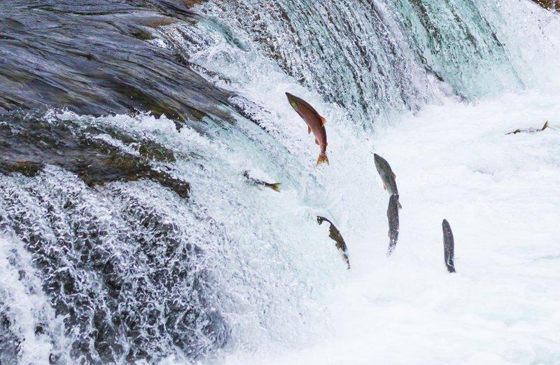 Cá sống khi lội ngược dòng, thuận nước trôi xuôi là cá chết