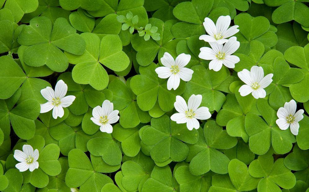 cỏ-ba-lá-may-mắn-cây-cảnh-trồng-trong-nhà_YUIQ