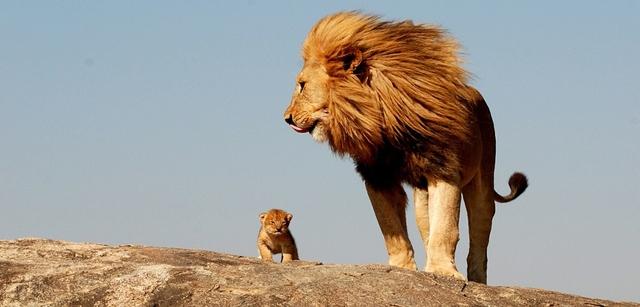 Tại sao sư tử luôn thống trị trong giới động vật? Hãy nhìn cách sư tử dạy con bạn sẽ hiểu vì sao chúng có thể tạo ra những thế hệ sư tử mạnh mẽ